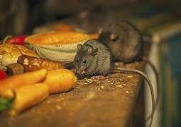 Waspadai 5 Penyakit Berbahaya yang Ditularkan Tikus Rumah