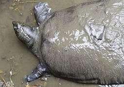 Kura-kura terlangka di dunia ditemukan mati di China, kini hanya tersisa tiga ekor
